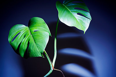 Houseplant Monstera deliciosa - p1149m2028453 by Yvonne Röder