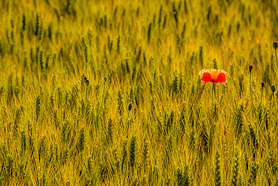 Poppy isolated in the middle of a field of wheat. Auvergne. France. - p813m1462124 by B.Jaubert