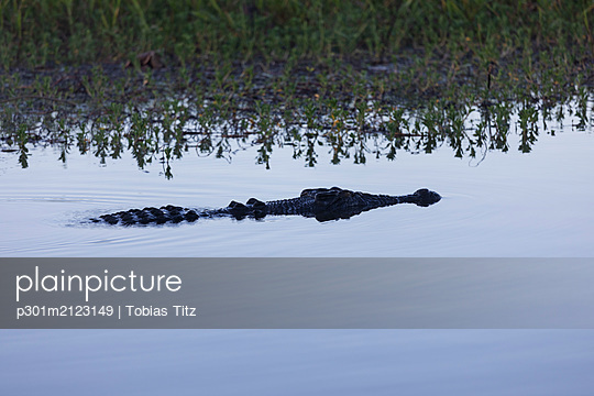 Saltwater crocodile swimming in calm marsh, Kakadu National Park, Australia - p301m2123149 by Tobias Titz
