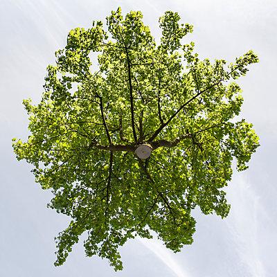 Hovering field maple - p824m2116925 by jochen leisinger