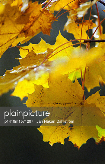 Herbstlaub - p1418m1571287 von Jan Håkan Dahlström