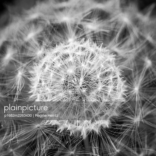 Double exposure of a dandelion - p1682m2263430 by Régine Heintz