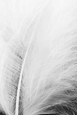 White feather - p1006m891487 by Danel