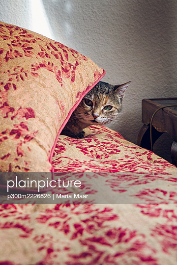 Domestic cat hides behind pillow at home - p300m2226826 by Maria Maar