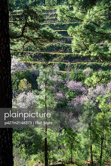 La Palma, Almond blossom - p427m2148373 by Ralf Mohr