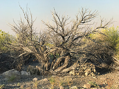 Dead tree in dry ground - p1048m2025599 by Mark Wagner