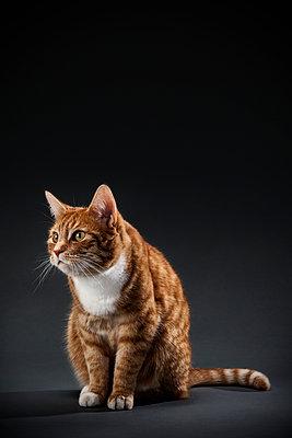Portrait von Katze - p1156m1016925 von miep