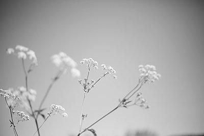 fleurs blanches  - p987m2218998 by Célia Swaenepoel