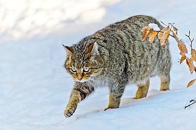 Wildkatze (felis silvestris) im Schnee - p1463m2228533 von Wolfgang Simlinger