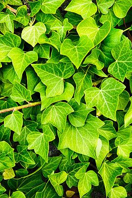 Ivy, close-up, Sweden. - p31224886f by Hans Berggren