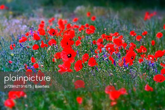 Flower field with poppy  - p739m2191675 by Baertels