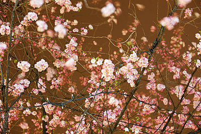 Cherry tree in time exposure - p5861688 by Kniel Synnatzschke