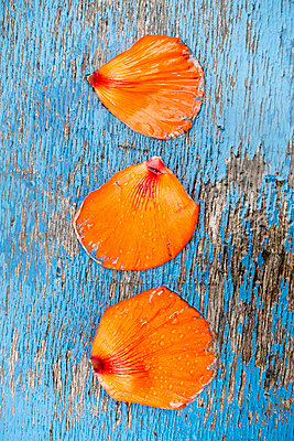 Three wet red poppy petals on a wooden surface with blue cracked paint - p1302m1445264 by Richard Nixon