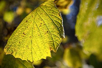 Hazel leaf with autumn colours - p1418m1571670 by Jan Håkan Dahlström