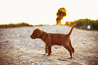 Brown puppy standing on a path  during sunset - p300m2024079 by Aitor Carrera Porté