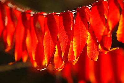 Staghorn sumac, Rhys typhina, in autumn - p300m2060740 by Thomas Jäger