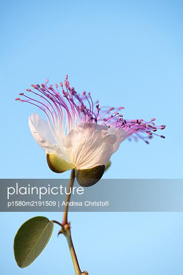 Caper flower in the evening light - p1580m2191509 by Andrea Christofi