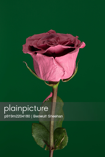 red rose flower painted pink with green stem against green background - p919m2204180 by Beowulf Sheehan