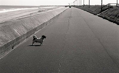 Jack Russell waiting on the promenade. - p1072m857489 by Alison Morton
