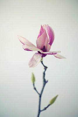 Magnolia - p495m793574 by Jeanene Scott