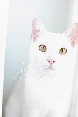 Weiße Katze - p2490521 von Ute Mans