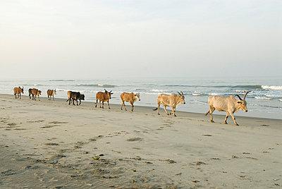 Kühe trotten am Strand - p4120021 von Darshana