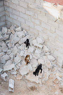 Goats climbing on building rubble - p1177m1467459 by Philip Frowein