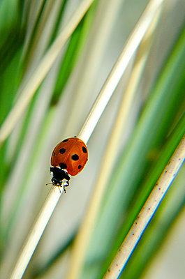 Ladybug - p1544m2122125 by