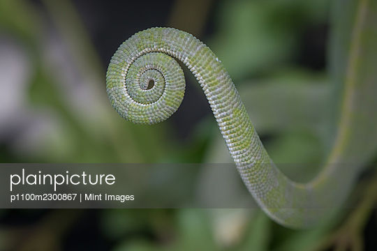 The tail of a flap-necked chameleon, Chamaeleo dilepis - p1100m2300867 by Mint Images