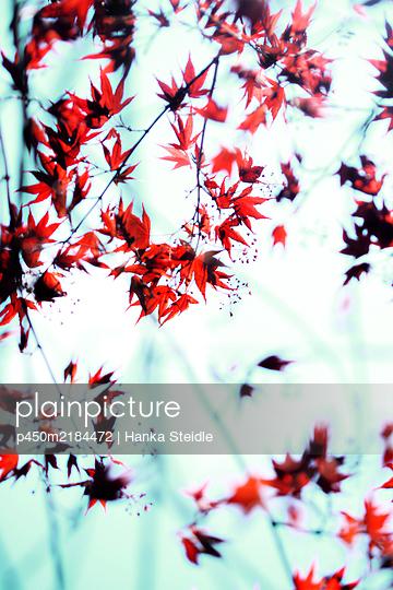 Japanese maple - p450m2184472 by Hanka Steidle