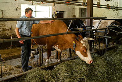 Farmer caring for cow in stable - p300m2114180 by Francesco Buttitta