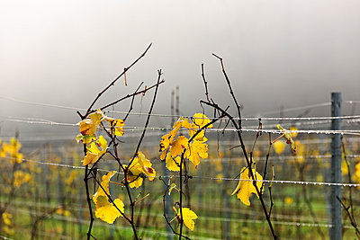 Germany, Baden-Wuerttemberg, vine leaves in autumn colours - p300m978101f by Albrecht Weisser