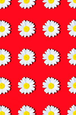 Marguerites - p1149m2187948 by Yvonne Röder