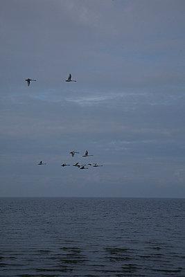 schwaene fliegen - p6270092 von bobsairport