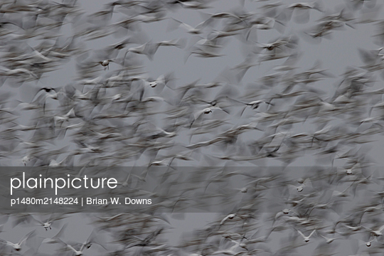 Snow Geese blast off from a field - p1480m2148224 by Brian W. Downs