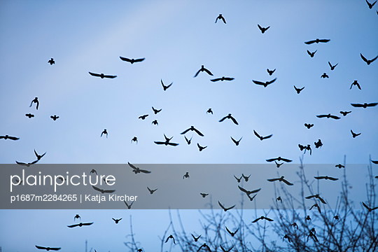 A swarm of birds flying over trees - p1687m2284265 by Katja Kircher