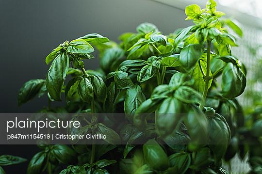 Basilikum - p947m1154519 von Cristopher Civitillo
