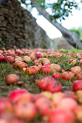 Red apples lying on the grassy ground  - p1057m2008290 by Stephen Shepherd