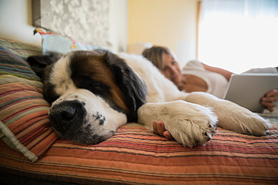 Saint Bernard sleeping by woman digital tablet bed - p1192m1078266f by Hero Images