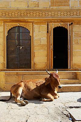 Schlafende Kuh vor einem Haus - p1259m1111445 von J.-P. Westermann