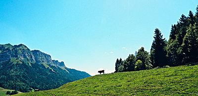 Kuh auf der Almwiese - p318m1477394 von Christoph Eberle