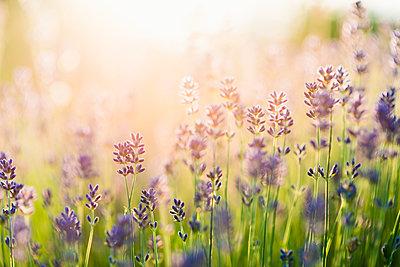 Lavender field - p312m1229216 by Hans Berggren