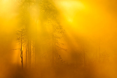 Forest at sunrise - p575m785356 by Mikael Svensson