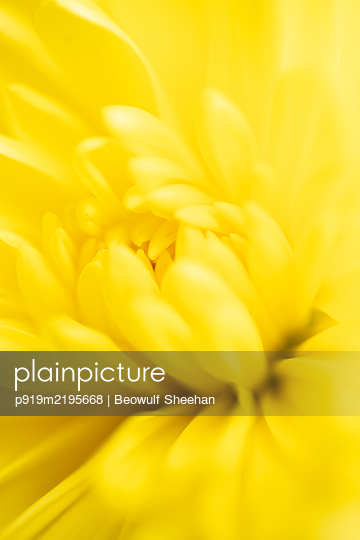 Yellow calendula flower, close-up - p919m2195668 by Beowulf Sheehan
