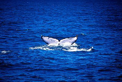 Schwanzflosse eines Buckelwals - p1275m1131974 von cgimanufaktur
