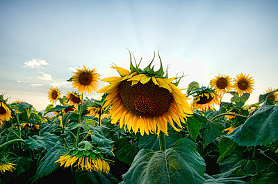 Sunflower field - p1445m2125661 by Eugenia Kyriakopoulou