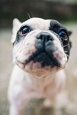 Portrait of French Bulldog - p300m1191440 by Ramon Espelt