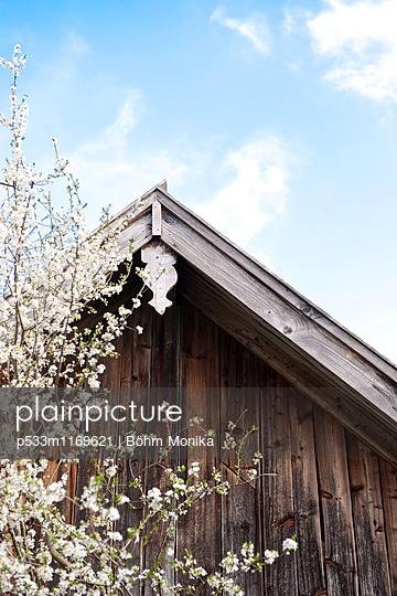 Blütenzweige eines Mirabellenbaumes - p533m1169621 von Böhm Monika