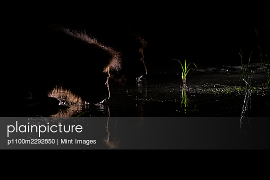 A male lion, Panthera leo, crouches down to drink water, at night, backlit by spotlight - p1100m2292850 by Mint Images