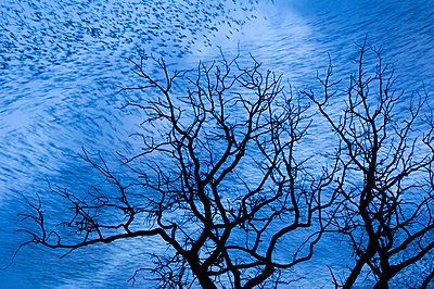 Abstract picture of a flock of starlings with in the foreground tree tops - p1144m944070 by Misja Smits
